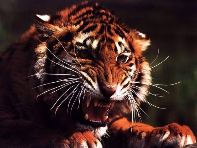 Wallpapers Animals Felines - Tigers Wallpaper N°39231