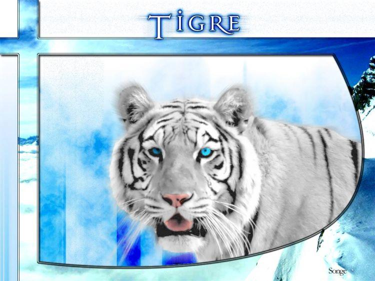 Fonds d'écran Animaux Félins - Tigres Tigre
