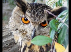 Wallpapers Animals Hibou Grand Duc