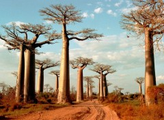 Wallpapers Trips : Africa Allée des baobabs