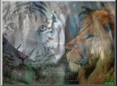 Wallpapers Animals Lion & Tigre Blanc