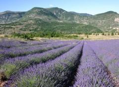 Wallpapers Nature Un champ de lavande ds la Drôme provençale