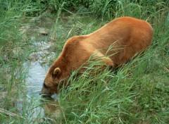 Fonds d'écran Animaux Un (vrai) Ours se désaltérant...