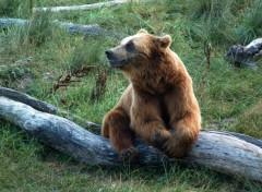 Fonds d'écran Animaux Un ours qui pose...