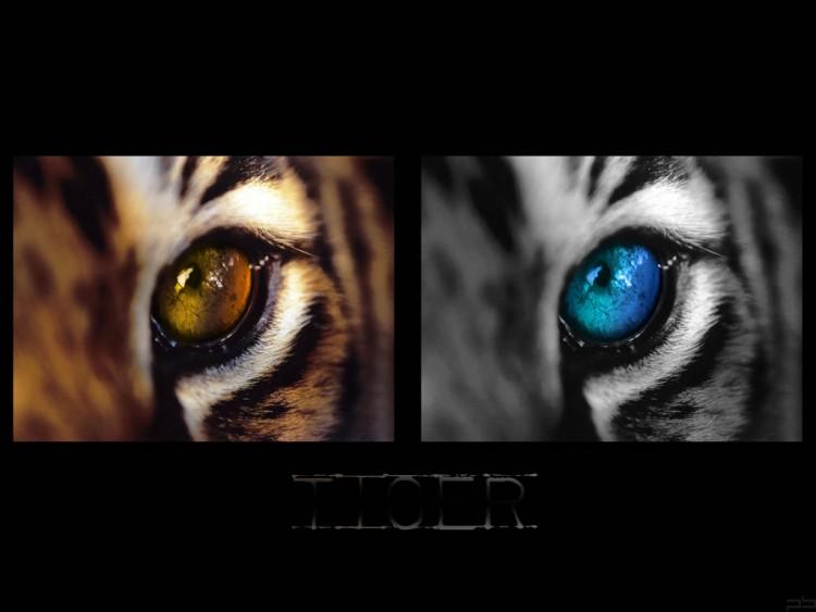 Fonds d'écran Animaux Félins - Tigres Tiger