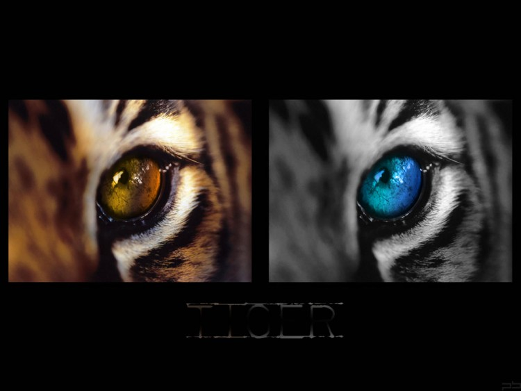 Wallpapers Animals Felines - Tigers Tiger