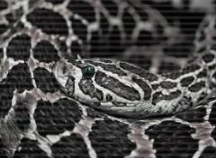 Fonds d'écran Animaux Snake eyes
