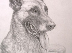 Fonds d'écran Art - Crayon Berger Malinois