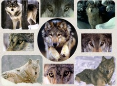 Wallpapers Animals Le loup