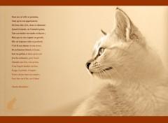 Fonds d'écran Animaux le chat de Beaudelaire