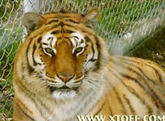 Wallpapers Animals tigre femelle