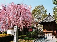 Fonds d'écran Voyages : Asie Sakura