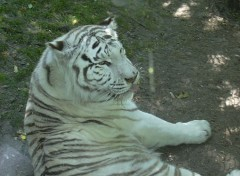Wallpapers Animals Tigre blanc