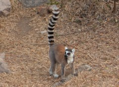 Wallpapers Animals Lemur Catta - en libert� � Madagascar
