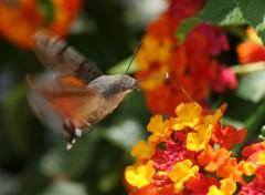 Fonds d'écran Animaux colibri