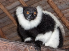 Wallpapers Animals Lémurien à Madagascar