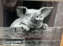 Wallpapers Animals Cochon
