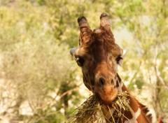 Fonds d'écran Animaux girafe