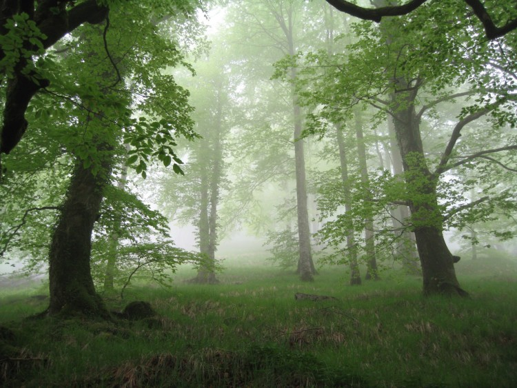 Wallpapers Nature Trees - Forests Hetraie sous la brume