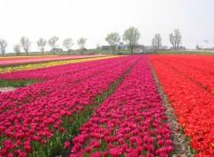 Fonds d'écran Nature Champs de tulipes en Hollande