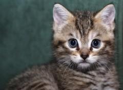 Fonds d'écran Animaux petit chaton
