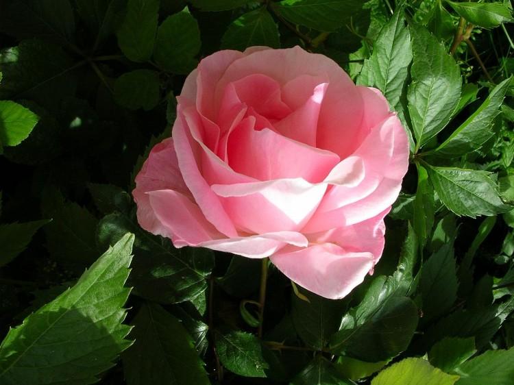 Fonds d'écran Nature Fleurs Rose