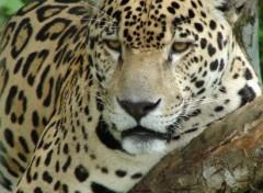 Fonds d'écran Animaux Jaguar