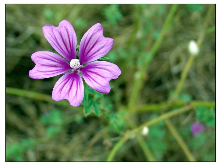 fonds d 39 cran nature fonds d 39 cran plantes arbustes petite fleur violette par crbr. Black Bedroom Furniture Sets. Home Design Ideas