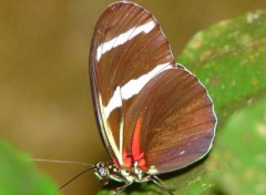 Wallpapers Animals Papillon amazonien