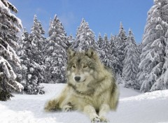 Wallpapers Animals loup dans la neige