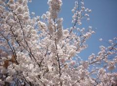 Fonds d'écran Voyages : Asie cerisier en fleur