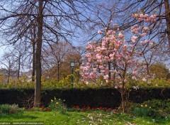 Fonds d'écran Nature Printemps : Jonquilles et Magnolia