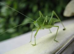 Fonds d'écran Animaux Le bonjour de la Grande sauterelle verte / Tettigonia viridissima