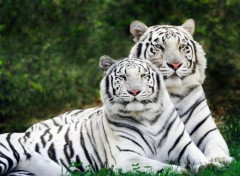 Wallpapers Animals Family feline:Tigers