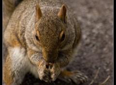 Fonds d'écran Animaux ecureuil