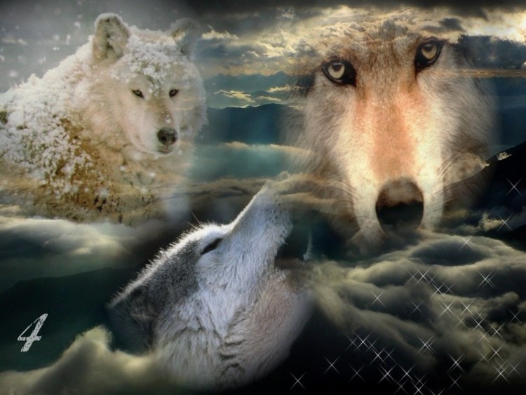 Fonds d'écran Animaux Loups Loups powaa
