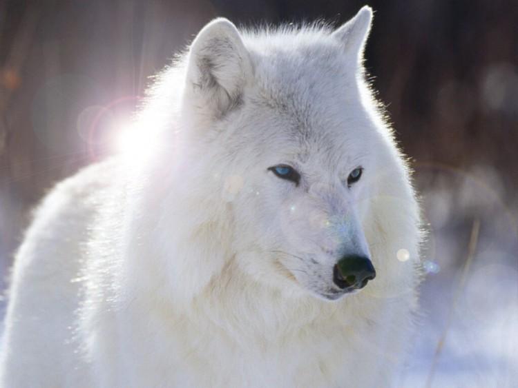 Fonds d'écran Animaux Loups Un loup blanc ^^
