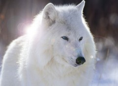 Wallpapers Animals Un loup blanc ^^