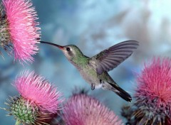 Wallpapers Animals Colibri