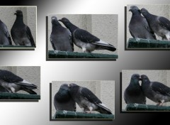 Wallpapers Animals amour de pigeon