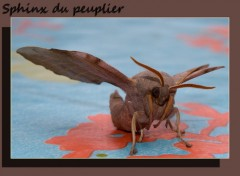 Wallpapers Animals sphinx du peuplier