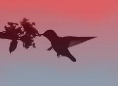 Fonds d'écran Animaux Silhouette de colibri