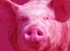 Wallpapers Animals Pink pig