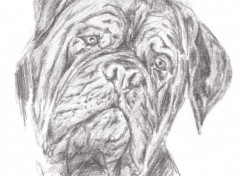 Fonds d'écran Art - Crayon Dogue De Bordeaux