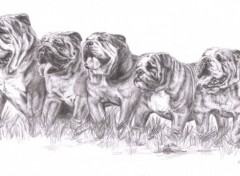 Wallpapers Art - Pencil Bouledogues Anglais