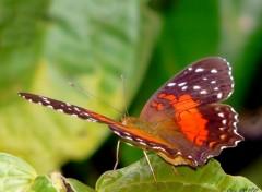 Fonds d'écran Animaux Papillon amazonien