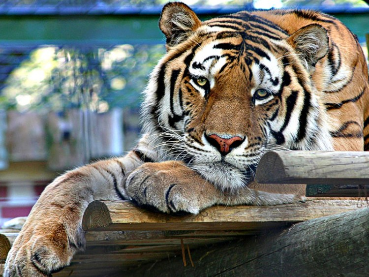 Wallpapers Animals Felines - Tigers Wallpaper N°201529