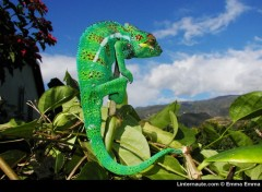 Wallpapers Animals Cameleon (la reunion)