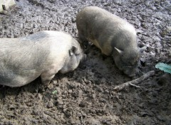 Wallpapers Animals Porcs