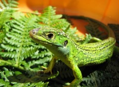 Wallpapers Animals UN LEZARD DANS MON JARDIN